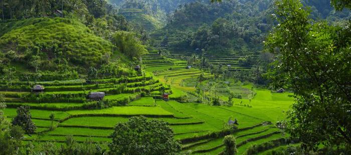 Risplantasje i fjellene i Bali.